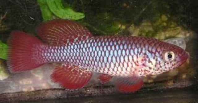 ไข่ปลาคิลลี่ สายพันธุ์ Nothobranchius orthonotus (nh) จำนวน 30 ฟอง