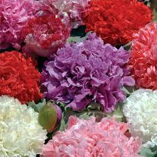 ดอกป็อปปี้ดอกซ้อน (คละสี) /20 เมล็ด
