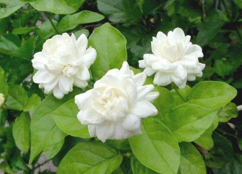 หัวน้ำหอม Jasmine มะลิซ้อน 100 ml. : 003354